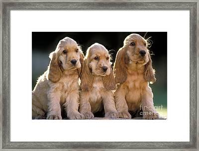 Cocker Spaniel Puppies Framed Print by Jean-Michel Labat