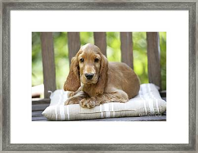 Cocker Spaniel Puppy Dog Framed Print by Jean-Michel Labat