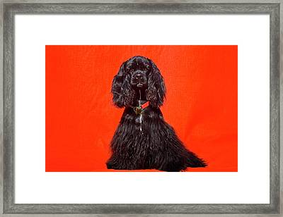 Cocker Spaniel Sitting Against Red Framed Print by Zandria Muench Beraldo