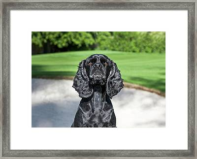 Cocker Spaniel Sitting Near A Sand Trap Framed Print