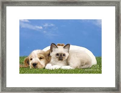 Cocker Spaniel With Birman Kitten Framed Print by Jean-Michel Labat