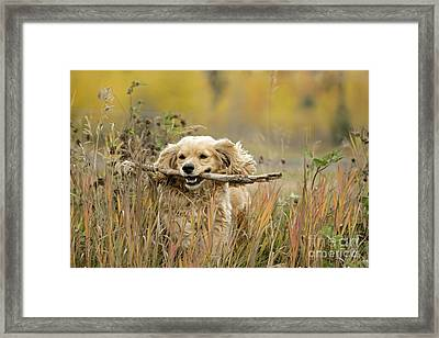 Cocker Spaniel With Stick Framed Print by Rolf Kopfle