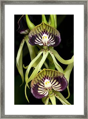 Cockleshell Orchid Or Clamshell Orchid Framed Print by Nigel Downer
