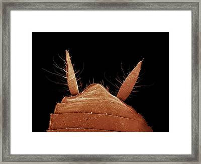 Cockroach Cerci Framed Print by Clouds Hill Imaging Ltd