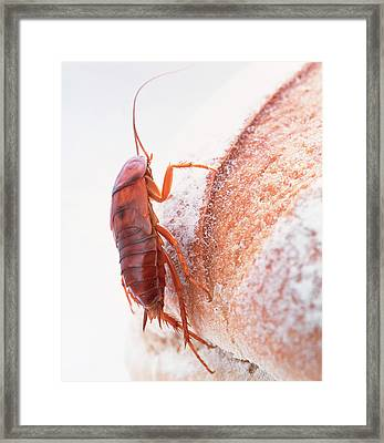 Cockroach On Bread Framed Print by Gustoimages/science Photo Library