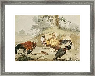 Cocks Fighting Framed Print by Melchior de Hondecoeter