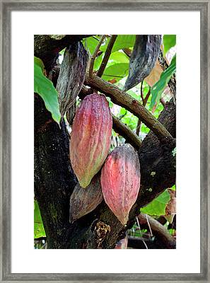 Cocoa Pods, Cocoa Tree (theobroma Cacao Framed Print by Susan Degginger