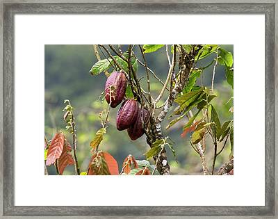 Cocoa Pods On A Tree (theobroma Cacao) Framed Print by Bob Gibbons