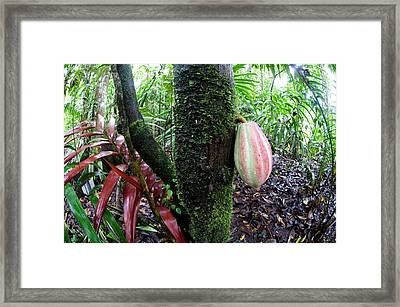 Cocoa Tree In A Rainforest, Costa Rica Framed Print by Panoramic Images