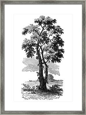 Cocoa Tree Framed Print by Science Photo Library