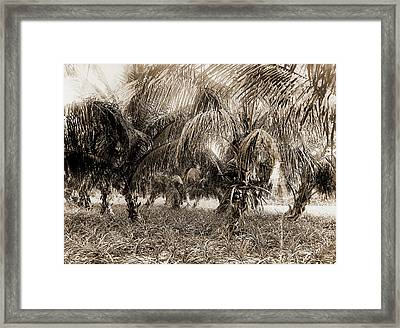 Cocoanuts And Pineapples, Lake Worth, Fla, Jackson, William Framed Print by Litz Collection
