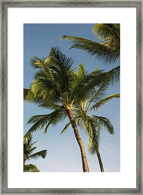 Coconut Palms Sway In Tropical Breezes Framed Print by Robert L. Potts
