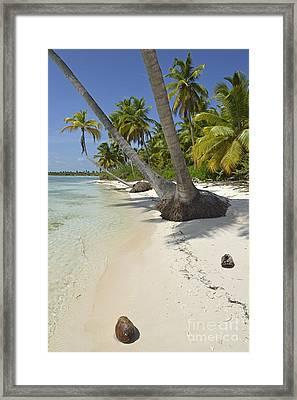 Coconuts On Pristine Tropical Beach Framed Print by Sami Sarkis