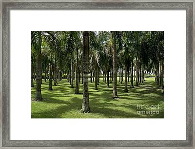 Coconuts Trees In A Row Framed Print by Sami Sarkis