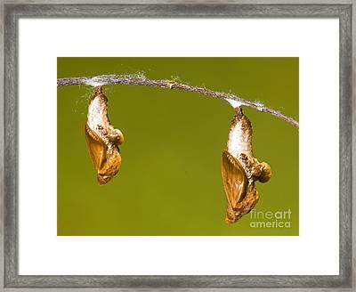 Cocooned Gulf Fritillary Butterflies Framed Print