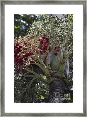Cocos Nucifera - Niu Mikihilina - Palma Framed Print by Sharon Mau