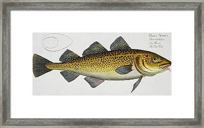 Cod Framed Print by Andreas Ludwig Kruger
