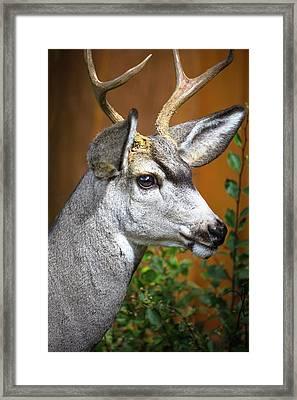 Cody, Wyoming Close-up Of A Mule Deer Framed Print