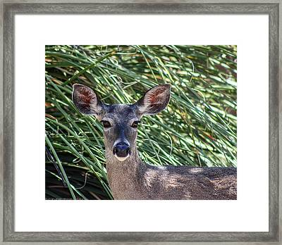 Framed Print featuring the photograph Coes Deer by Elaine Malott