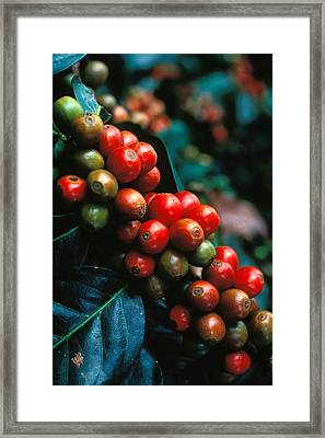 Coffee Plant Framed Print by Anonymous