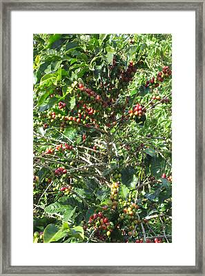 Coffee Plantations In Costa Rica South America Fruit Season With Ready Hands To Teach Travellers All Framed Print by Navin Joshi