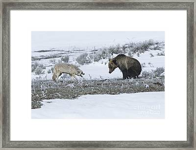 Confrontation In Hayden Valley Framed Print by Bob Dowling