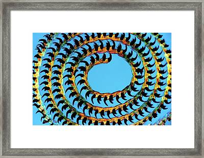 Coiled Limpet Tongue Framed Print by Steve Lowry