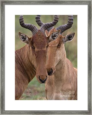 Framed Print featuring the photograph Cokes Hartebeests by Chris Scroggins