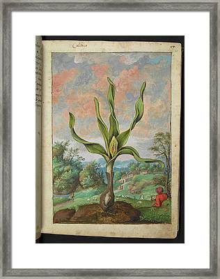 Colchicum Sp. Framed Print by British Library