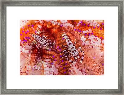 Coleman Shrimp On Fire Urchin Framed Print