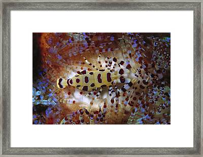 Colemans Shrimp On Venomous Sea Urchin Framed Print