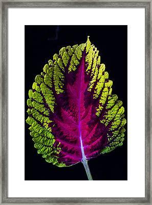 Coleus Leaf Framed Print by Garry Gay