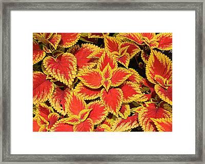 Coleus Framed Print