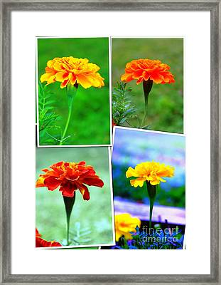 Collage Of Marigolds Framed Print by Judy Palkimas