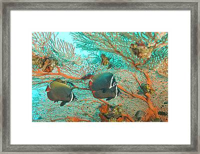 Collare Butterflyfish (chaetodon Collare Framed Print by Stuart Westmorland