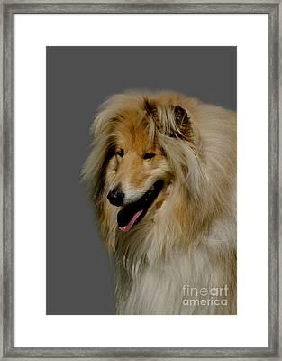 Collie Dog Framed Print