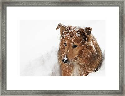 Collie In The Snow Framed Print