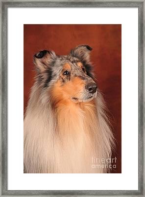 Collie Portrait Framed Print by Randi Grace Nilsberg