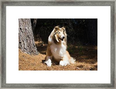 Collie Sitting In The Sun Under A Pine Framed Print
