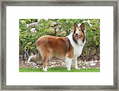 Collie Standing In Front Of White Roses Framed Print