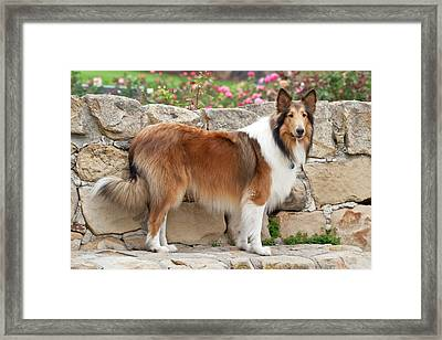 Collie Standing On A Sandstone Bench Framed Print