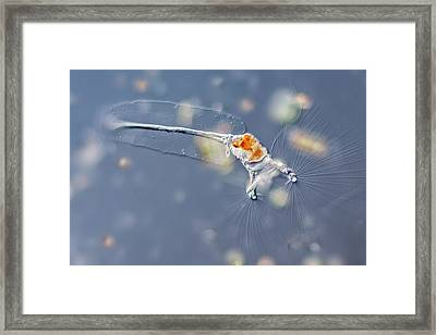 Collotheca Rotifer Framed Print by Gerd Guenther