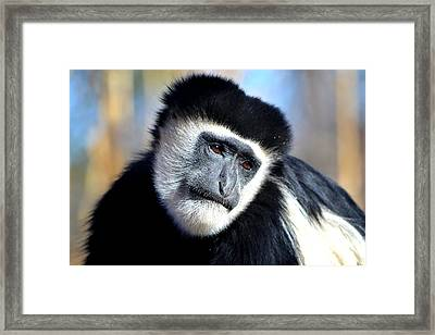 Colobus Contemplation Framed Print by Deena Stoddard