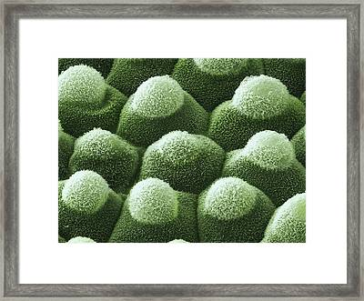 Colocasia Esculenta Leaf Detail Framed Print by Power And Syred