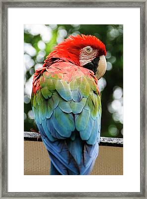 Colombia, Minca Red And Green Macaw Framed Print by Matt Freedman