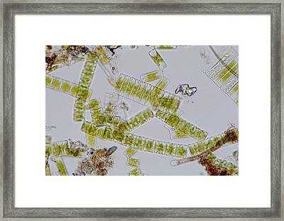 Colonial Freshwater Diatoms Framed Print by Science Photo Library