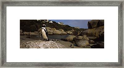 Colony Of Jackass Penguins Spheniscus Framed Print by Panoramic Images