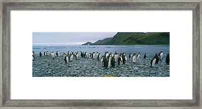 Colony Of King Penguins On The Beach Framed Print
