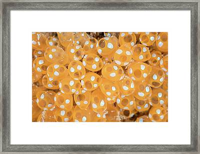 Colony Of Tunicates Grow On A Reef Framed Print by Ethan Daniels
