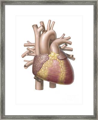 Color Illustration Of The Anterior View Framed Print